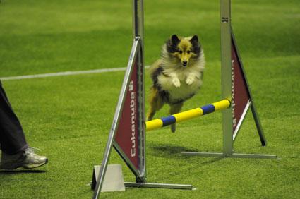 Shetland Sheepdog beim Sprung über eine Hürde
