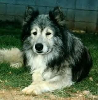 RE: Wolfshybriden - Hunde.com Alles rund um den Hund