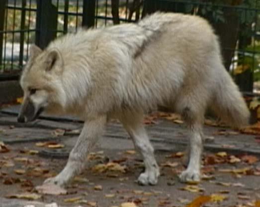 unterschied wolf und hund